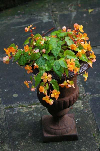 Begonia sutherlandii (Papya-Begonie)