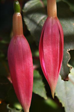Fuchsie lachs und rosa