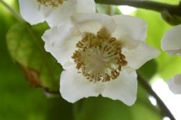 Kiwi-Blüte