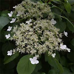 Blüte Kletterhortensie