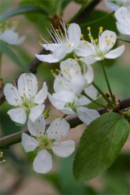 Blüte der Mirabelle Nancy
