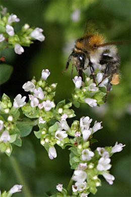 Oregano mit Biene