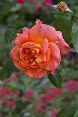 Orangene Blüte Rose Westerland