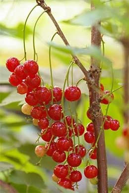 Rote Johannisbeere im Hinterhofgarten