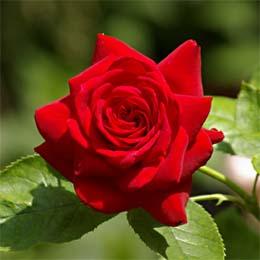 Rote langstielige unbekannte Rose