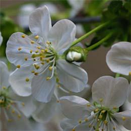 Blüte der Sauerkirsche