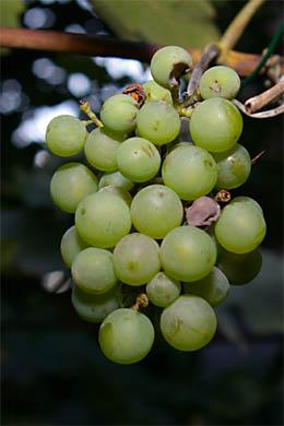 Weintraube Ortega im Hinterhofgarten