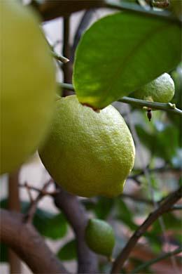 Zitronen am Zitronenbaum